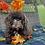 Thumbnail: Mocha - Havapoo Female