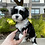 Thumbnail: Panda - Havanese Male