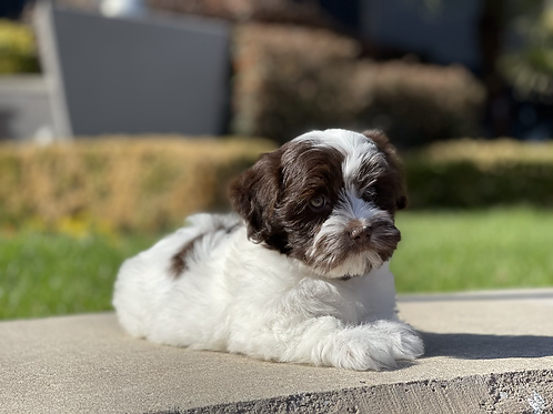 Perry - Havanese Male