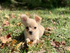Tiny Jewel Pups Chiahuahua