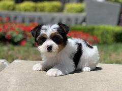 Tiny Jewel Pups Yorkie