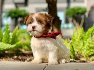 Tiny Jewel Pups Designer Breed