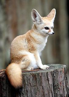 Tiny Jewel Pups Fennec Fox