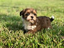 Dior the Havanese Puppy 15.jpg