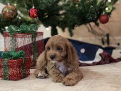 Tiny Jewel Pups Cavapoo