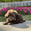 Thumbnail: Waggles - Toy Havanese Male