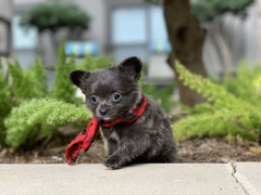 Tiny Jewel Pups Chihuahua