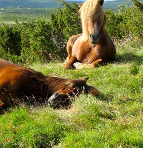 Hester som hviler