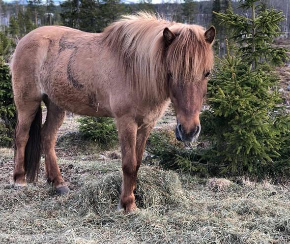 Hestene går ute hele året