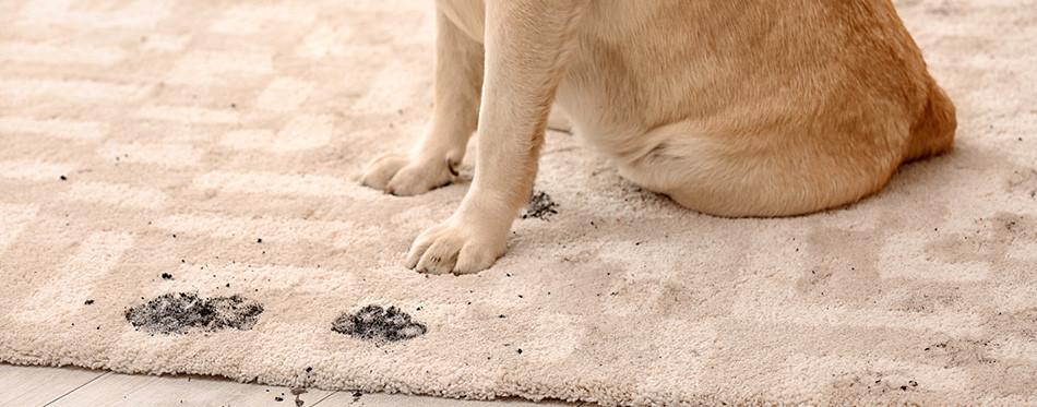 Бруд на килимі після тварин