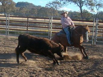 Australian Stock Horse Stallion Attards Red Oak.