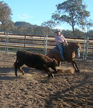 Australian Stock Horse Attards Red Oak Cutting Out.