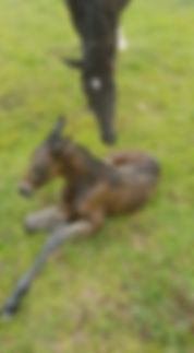 Glencoe Heartbeat Colt