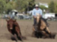 Australian Stock Horse Stallion Sevenangle Native Oak Campdrafting.