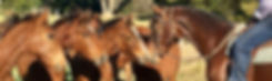 Australian Stock Horse Glencoe Heartbeat