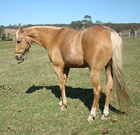 Australian Stock Horse Stallion Sevenangle Native Oak