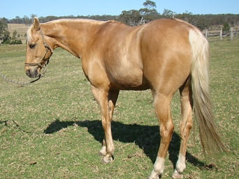 Australian Stock Horse Stallion Sevenangle Native Oak