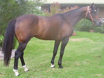 Australian Stock Horse Stallion Glencoe Heartbeat