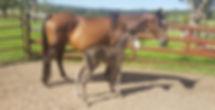Australian Stock Horse Attards Sheza Heartbeat