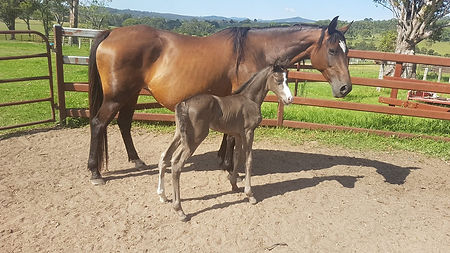 Australian Stock Horse Attards Sheza Heartbeat with her Black Dun Filly