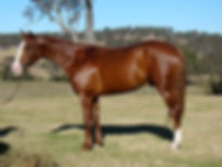 Australian Stock Horse Stallion Attards Red Oak.