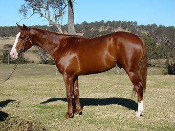 Australian Stock Horse Stallion Attards Red Oak