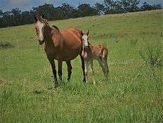 Glencoe Heartbeart Filly