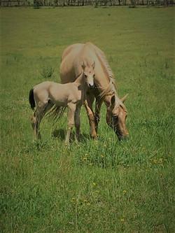 Attard Stock Horses