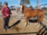 Australian Stock Horse Attards Little Miss Attitude.