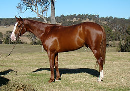 Australian Stock Horse Stallion Attards Red Oak