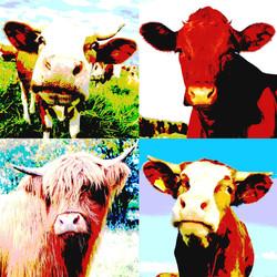 Moo Cows 2 Final (Large).jpg