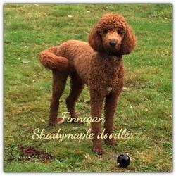 Finnigan - Moyen Poodle