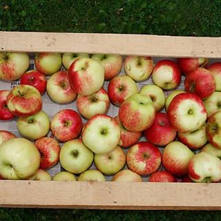 bosagården-äpplen2.jpg