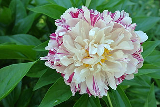 800px-Paeonia_'Candy_Cane'.jpg