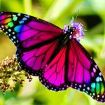 MY WINGS OF RAINBOW COLOURS.