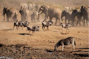 gnoe zebra olifant
