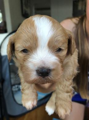 bichon x puppies for sale