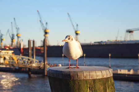 Harbour Seagull