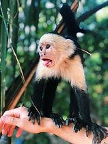 #10 wild White-headed capuchins.jpg