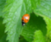 Ladybird on Nettles.png