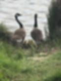 Goslings 2 2019.png