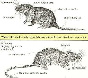 watervole-v-rat.jpg