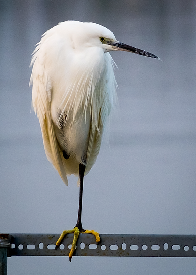 Little Egret.png