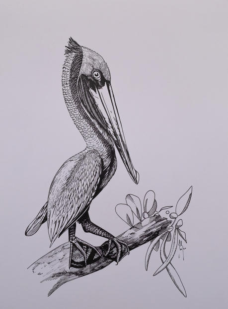 Brown Pelican (black and white)