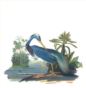 Louisiana Heron (after Audubon).