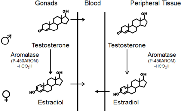 Figure-5-Schematic-presentation-of-sex-hormone-production-in-gonads-and-peripheral