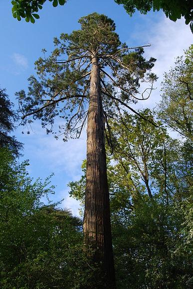 Séquoia parc de Tournelay
