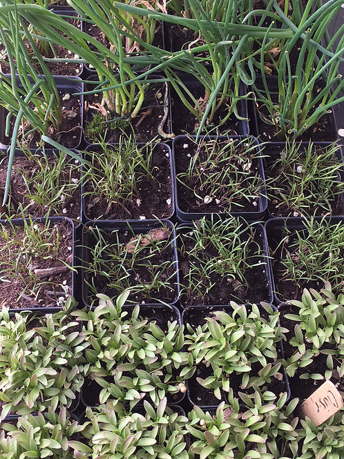 Godshall Farm 2 1/2 inch herb plant