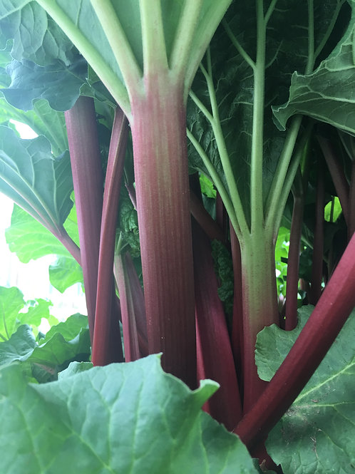 Godshall Farm rhubarb bunch
