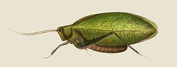 Phylloptère Feuille de Cassiné femelle